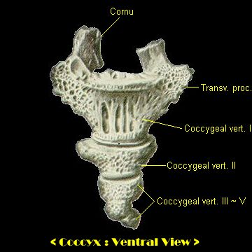 coccyx, ventral view